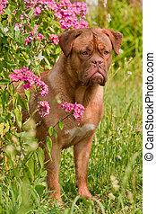 Dogue De Bordeaux Puppy is hiding in pink phlox bush in the...