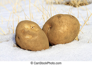 Cold potato in snow concept for cold cash