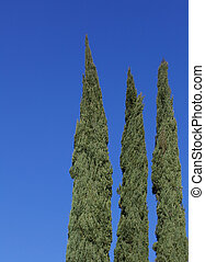 Cyrpress no wind - Three tall green cypress trees blue sky