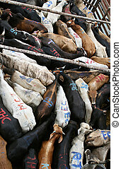 Tightly Packed Cattle - A corral of cattle is tightly packed