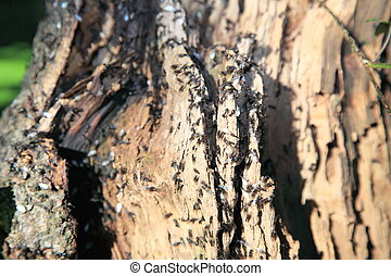 ants, lasius in forest tree