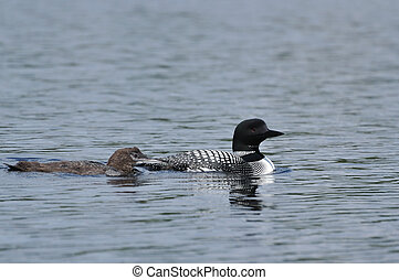 Common Loon With Chick - Common Loon (Gavia Immer) with...