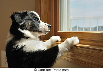 Australian Shepherd (Aussie) Puppy Watching - Tricolor...