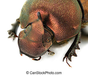 Onthophagus coenobita - Portrait of a male Onthophagus...