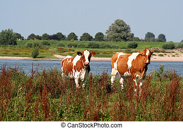 Red and whtie cows along the river - Two Red and whtie cows...