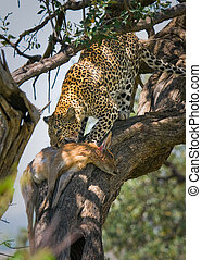 leopard eating impala