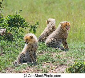 cheetahs cubs, masai mara, kenya