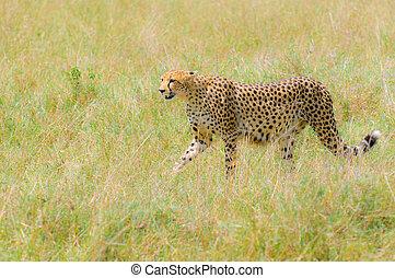 cheetah in the field, masai mara, kenya