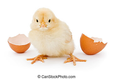 A baby chicken hatched from a brown egg - A newborn yellow...