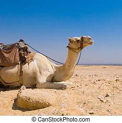 Camel in desert