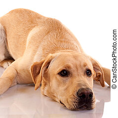 sad looking Labrador retriever - picture of a sad looking...