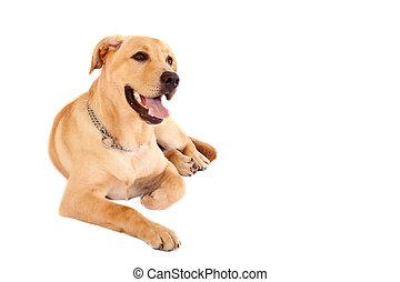 seated Puppy Labrador retriever