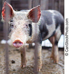 Baby pig in a pigsty - Baby pig behind bars in a pigsty