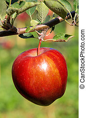 apple on tree 58