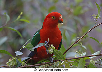 Male King Parrot - Attactive Australian parrot