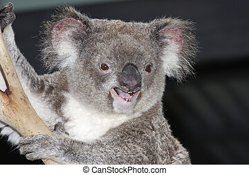 Koala Phasclarctas Cinereus Arboreal marsupial of Eastern...
