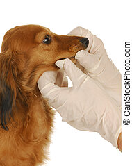 veterinary care - dachshund being examined by veterinarian...