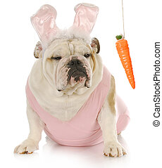 easter dog - english bulldog dressed up as easter bunny...