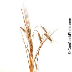 wheat isolated - wheat plant isolated on white background...