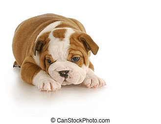 cute puppy - english bulldog puppy - six weeks old on white...