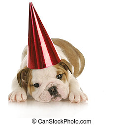 party dog - english bulldog puppy wearing red party hat with...