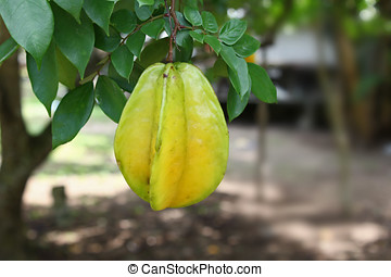 Star Fruit - Fresh, natural star fruit on tree