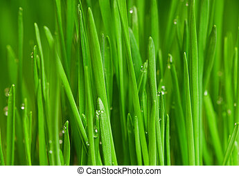 Wheat grass - Fresh green wheat grass with drops dew