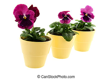 Red Violet flowers - Three Pansy Violets in red isolated...
