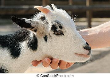 Adorable little goat being petted - Adorable little goat...