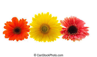 Colorful Gerber flowers - Row with three colorful Gerber...