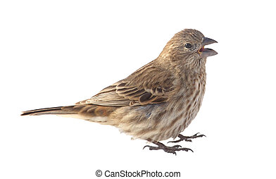 House Finch, Carpodacus mexicanus, isolated - Female house...