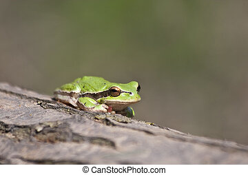 a green frog - a small frog on a big tree