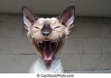 Rex Devon kitten