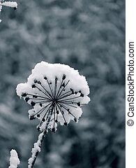 Winter flower Snow - Dried wild flower covered with snow Day...
