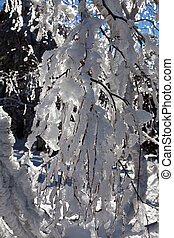 Cold weather - Branch of a tree, all covered with ice and...