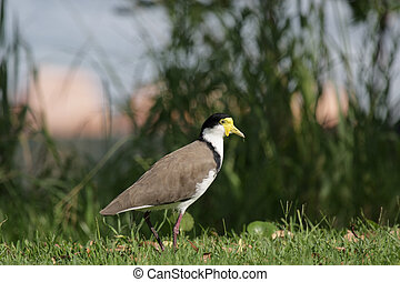 Masked Lapwing (Vanellus miles) sitting on a lawn in Nelson...