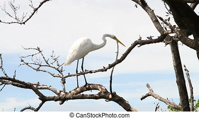 Great Egret In Tree - Great Egret roosts in a tree in the...
