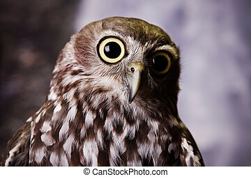 Wide Eyed Owl - Wide eyed owl staring at something