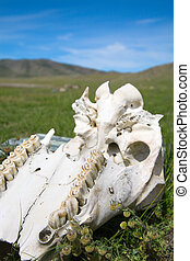 Cow skull lies on the grass
