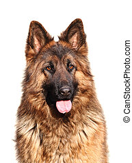 german shepard - image of classic female german shepard long...