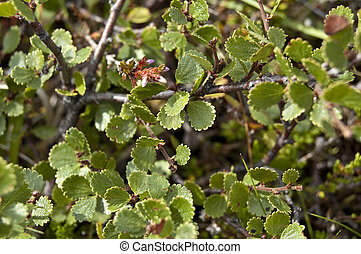 Dwarf Birch (Betula nana) - This species is found mainly in...