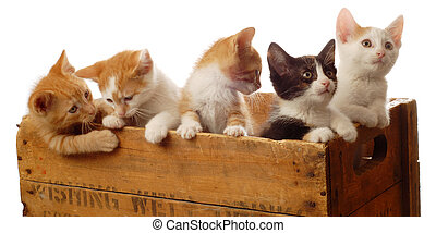 litter of five kittens in a wooden box - seven weeks old