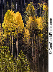 Colorful Aspen trees in Vail, Colorado