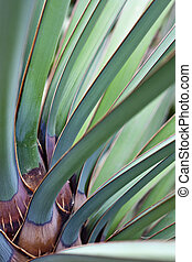 Yucca baccata leaves - Leaves of Datil yucca or Banana yucca...