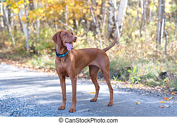 Vizsla Portrait on a Road with Autumn Leaves - A female...