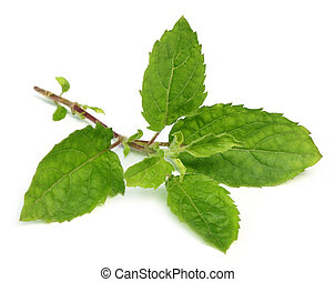 Tulsi leaves - Medicinal holy basil or tulsi leaves