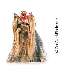 Yorkshire Terrier in show coat Isolated on a white...