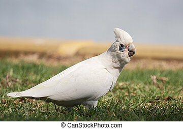 Little Corella Cacatua sanguinea sitting on a lawn in...