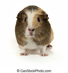 Cute guinea pig smiling - Smiling guinea pig isolated on a...