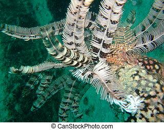 Feather Star (Echinoderm) - Crinoid marine invertebrate...